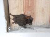 1) Deze vleermuis is niet schuw