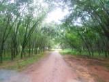 26) Verdwalen tussen de palmboom plantages