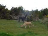35) En lama\'s