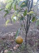 5) Ons eigen sinasappelboompje