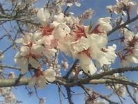 1)De amandelbomen staan in de bloei
