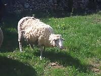 In etappes schapenwol knippen