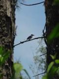 2) Ijsvogel