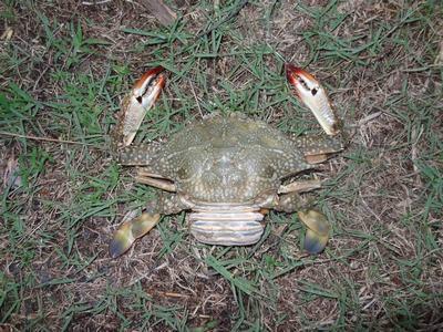 4) Behoorlijk grote krab