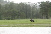 Waterbuffels bij het meer bij Da lat