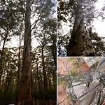 Karri tree - bosbrand uitkijk 'toren'