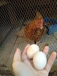 Haar eerste eitjes