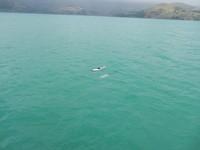 Hector dolfijnen