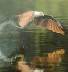 Langkawi''s roofvogel.
