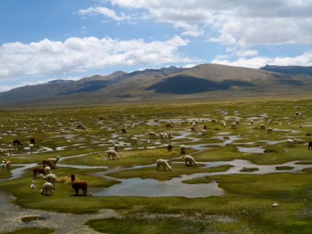 Lots of Lama's !