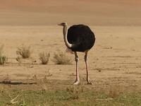 Eerste struisvogel van dichtbij