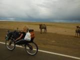 Verbaasde kamelen!