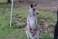 Kangaroo Day > Morriset Park