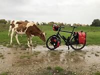 (natte) koe te bang voor mij, maar te nieuwsgierig naar mijn fiets