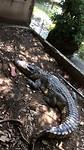 100kg zware krokodil