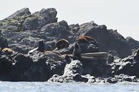 Zeeleeuwen 1
