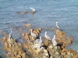 Pelikanen gezien vanaf de langste boulevard ter wereld in Mazatlan!