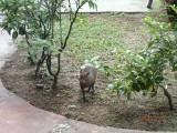 Enkele van deze dieren liepen rond het Hotel Del Norte