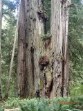 A big Redwood
