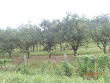 Oranges, lots of orange trees on the hummingbird Highway!