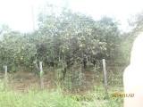 More orange trees