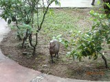 Some animals running around the hotel del Norte