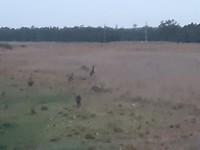 kangoeroe's in het donker