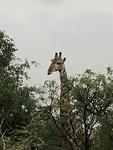 Eindelijk een giraf op ons eigen park
