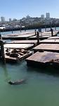 Zeeleeuwen in Pier 39