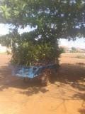 Bomenhandel is booming in Cambodja