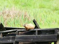 Prairie hond op de uitkijk