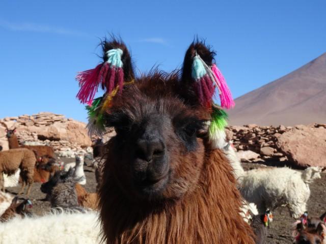 Lama met zijn leuke versiering dit is hun kenteken for Leuke versiering