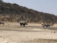 Neushoorn drinkplaats naast ons Dolimite camp