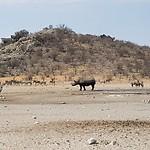 Rhino bij drinkplaats naast Etosha Dolimite park