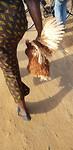 Wandelen met een kip