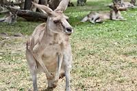 Staande kangaroo
