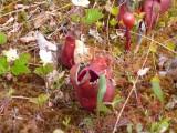Moerasorchidee,vliegenvanger