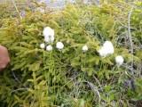 Moerasplant,Katoen Pluis