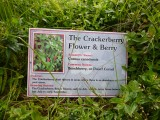 Cracker Berry