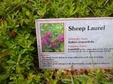 Sheep Laurel