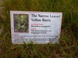 Yellow Rattle