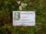 Hemlock Parsley