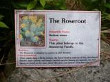 Roseroot