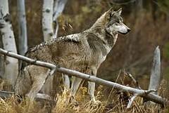 Grijze wolf  (geshopte foto)