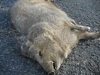 Verkeersslachtoffer,dode Javelina