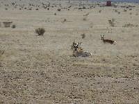 Pronghorn of Gaffel Antilopes