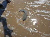 Catfish,heeft drie zeer giftige stekels.