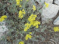 Rough Draba
