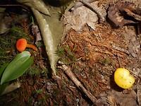 Orange Mycena en Chanterelle