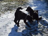 Bijke aan het spelen met de andere honden